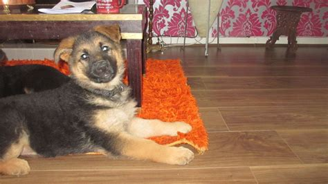 german shepherd puppies for sale in delaware german shepherd puppies for sale plymouth pets4homes