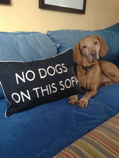stop dog going on sofa huh vizsla sofa ginger on the couch as usual