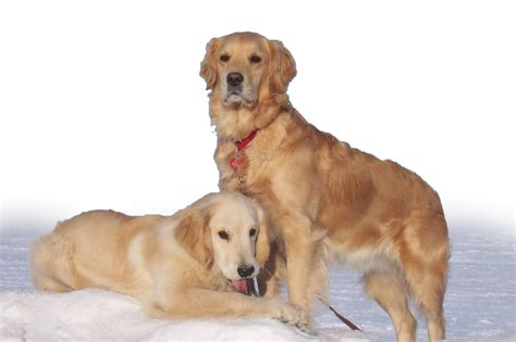 do golden retrievers hair or fur carsher golden retrievers about the breed