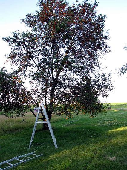 cherry tree jams getting into a jam in nebraska grist