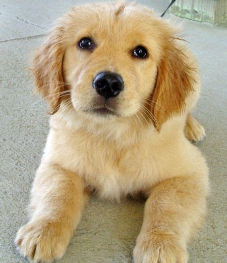 when should i spay my golden retriever 1000 images about golden pups on lab puppies puppy and the golden