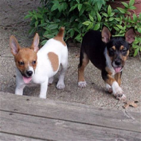 feist puppies for sale 1000 ideas about mountain feist on rat terriers manchester terrier and