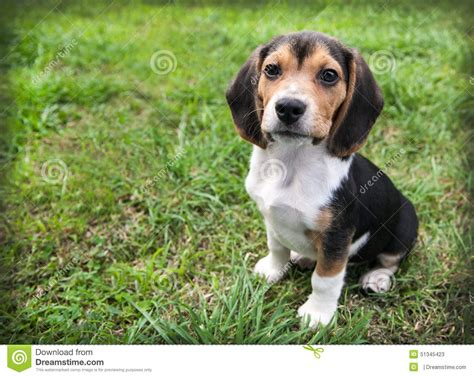 dogs with short floppy ears beagle puppy dog on grass sit stay stock photo image