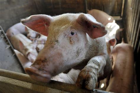 tiere im stall hunderte tote schweine im stall n land