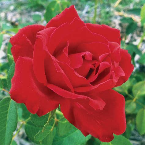beloved hybrid tea rose at jackson and perkins