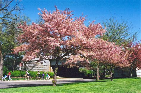 akebono yoshino cherry prunus x yedoensis akebono in