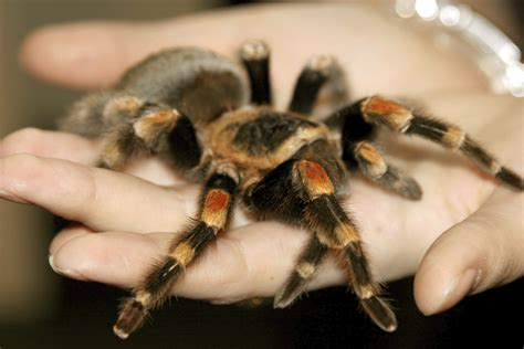 avma media library pod casts pet spiders