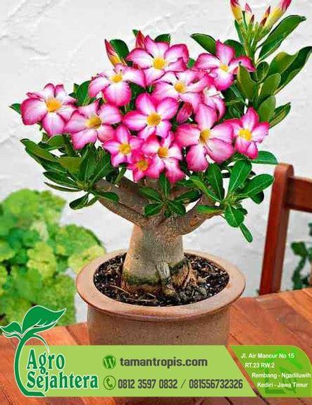 Bibit Bunga jual bibit bunga pentris