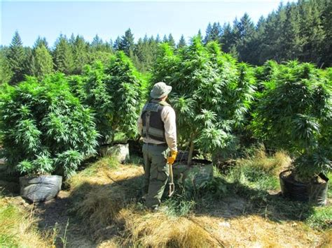 Mendocino County Superior Court Search Photos Honeydew Grow Site Features 4 000 Plants Assault Weapons Water