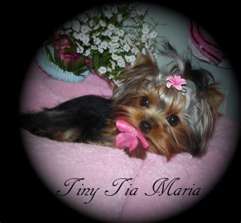 yorkies for sale in manitoba www thunderinghillqhyorkies