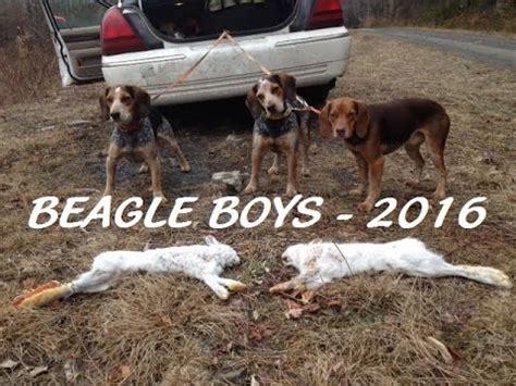how to a to hunt rabbits beagle boys rabbit how to your beagle puppy to hunt rabbits vidoemo
