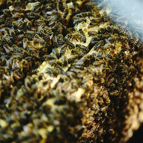 full colony of honeybees deposit local honey man