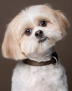 shih tzu fever 1000 images about seriously shih tzu s just make me happy so smile with me on