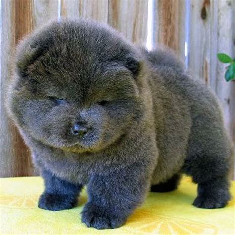 chow puppies fluffy emergency chow chow puppies are on the