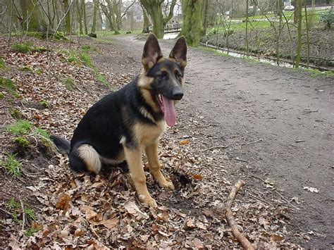 Why Do German Shepherds Shed So Much by 10 Images About Duitse Herders On German