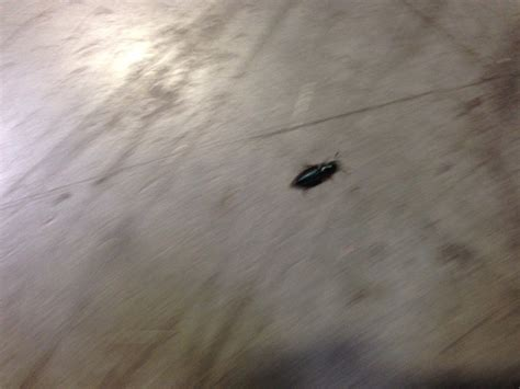 Pantry Bugs Black by Legged Ham Beetle What S That Bug
