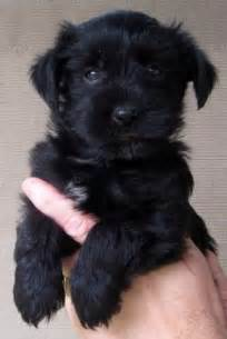 black teacup yorkie poo yorkie poo i need another one in my soon for the animals