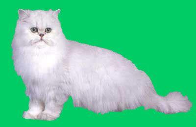 fotos de gatos gatos angora gemelos jpg pictures to pin on pinterest persa