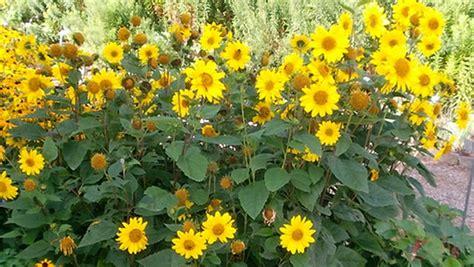 stauden gelb winterhart stauden sonnenblumen pflanzen und pflegen ndr de