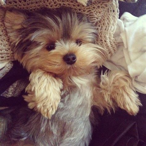 where to get a yorkie puppy 1000 ideas about terriers on terrier puppies yorkie