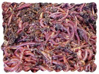Tepung Ikan Pakan Ternak Dijual cara termudah budidaya cacing tanah sebagai peluang usaha
