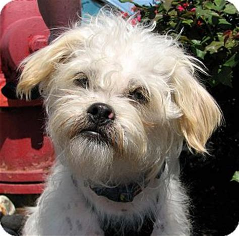 Maltese In Chinese | indianapolis in maltese chinese crested mix meet
