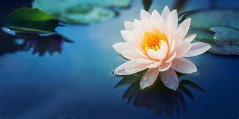 immagini fior di loto lo straordinario ritorno dei fiori di loto in thailandia