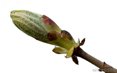 what is a bud scale with pictures