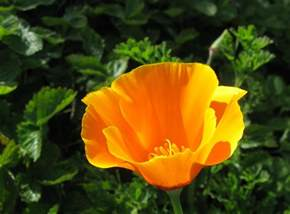 california poppy drystonegarden 187 narcissus