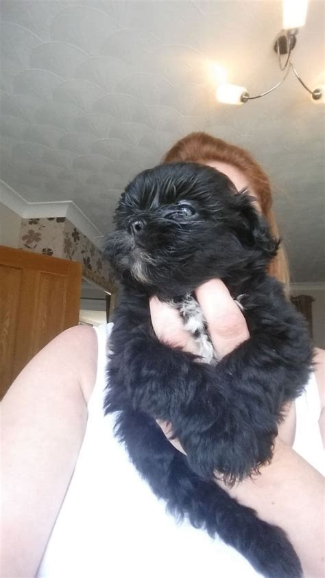shih tzu cross poodle puppies shih tzu cross poodle shih poo puppies pontypool torfaen pets4homes