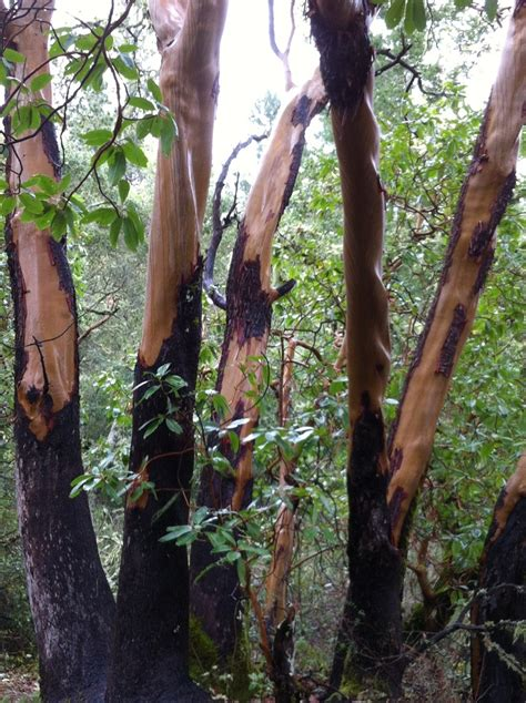 Trees That Shed Their Bark by Madrone Trees Shedding Their Bark Small Town Witch