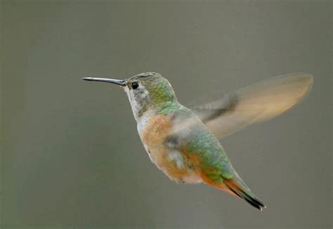 rufous hummingbird pennsylvania flickr photo sharing