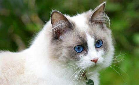 o que é ragdoll le ragdoll chat d int 233 rieur id 233 al caract 232 re origine