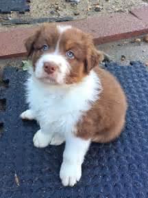 Pictures of beautiful australian shepherd puppy justviral net
