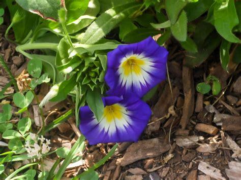 top purple annual flowers   garden hgtv