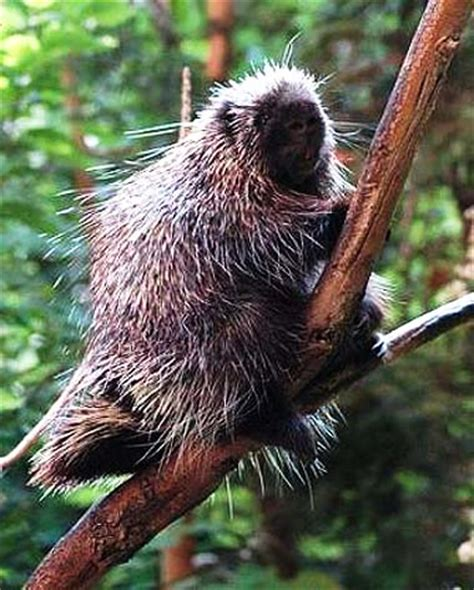 porcupines    world rodents  quill defense