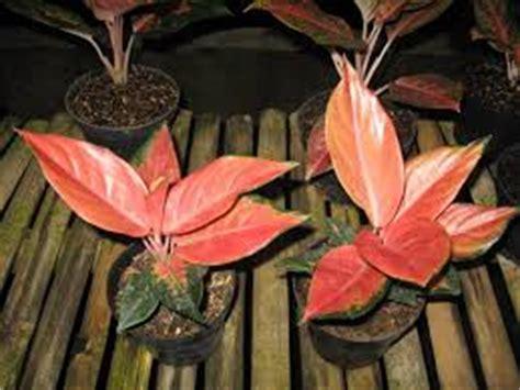 Jual Bibit Anggrek Kompot tanaman hias eglaonema tanaman bunga hias
