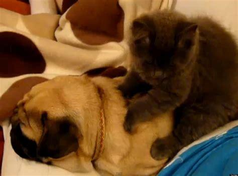 pugs snoring just a cat massaging a snoring pug huffpost uk