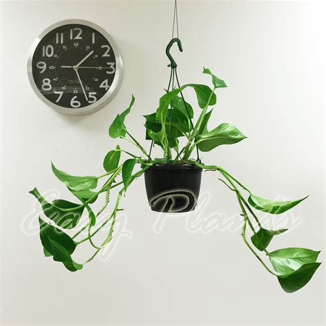 house plants uk for sale 1 s golden pothos arum evergreen indoor