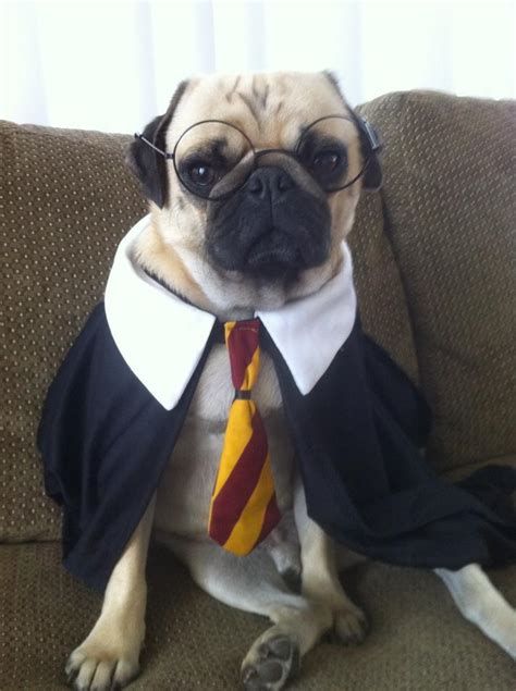 pug harry potter harry potter pugger pug memes