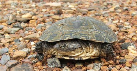 as bp turtle bd twiss 3 4 new korean style bsh207 neko random fact of the day jurassic turtles