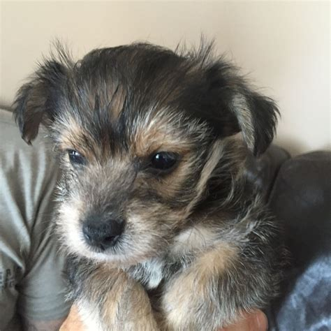 yochon puppies for sale yochon puppies wigan greater manchester pets4homes