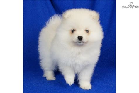 pomeranian puppies for sale in ct meet cuddles a pomeranian puppy for sale for 1 000 cuddles delivery ny nj