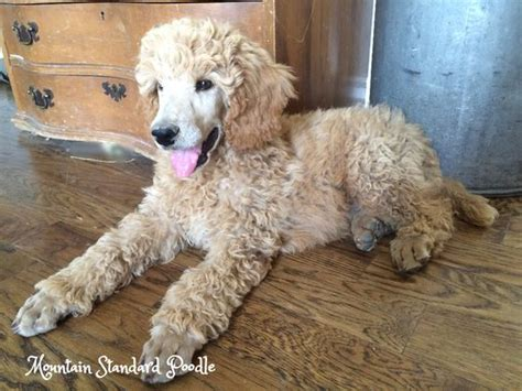 silver standard poodle puppies for sale best 25 standard poodles for sale ideas on poodles standard poodles and