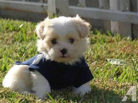 shih tzu puppies for sale in california maltipoo shih tzu puppies for sale in arleta california classified americanlisted