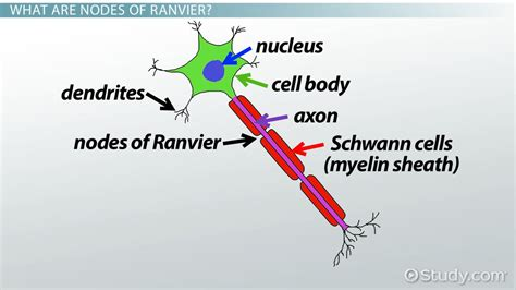 Model Resume For Teacher Job by Nodes Of Ranvier Function And Definition Video Amp Lesson