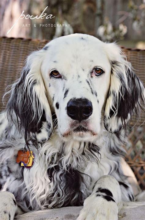 luellen setter dog 44 best llewellin setters images on pinterest english