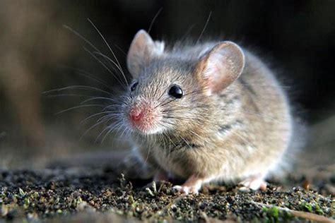 imagenes en movimiento de ratones formas m 225 s comunes de matar los roedores controlar y