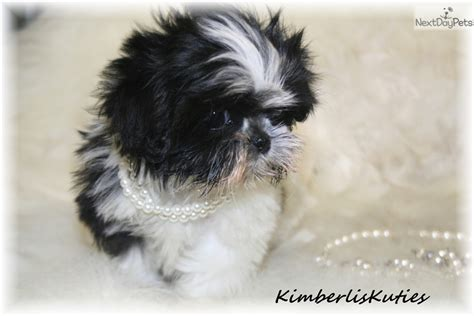 shih tzu puppies dallas shih tzu breeder dallas breeds picture