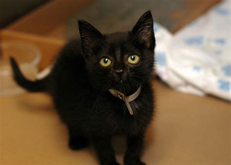 black cats pictures  meet  cat kitty bloger